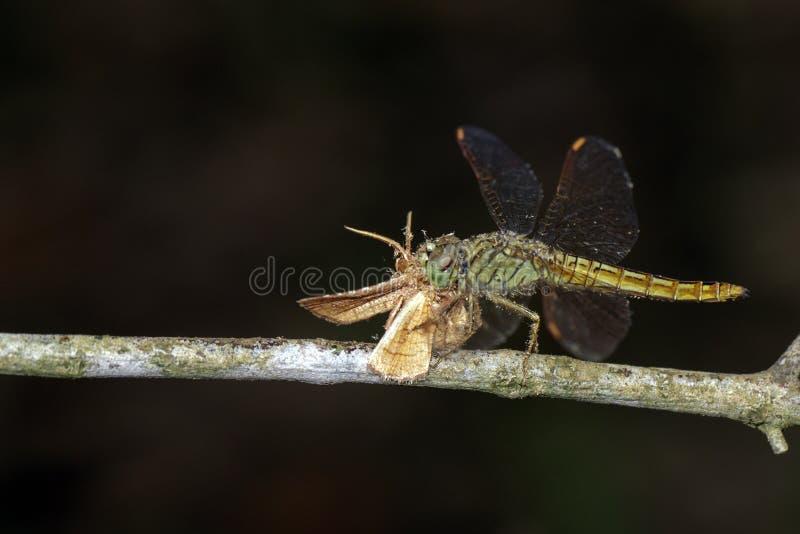 Bild av sländan som äter en fjäril på en filial kryp arkivbilder