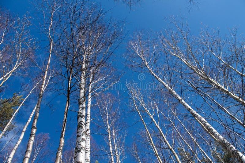 Bild av tr?d utan sidor med crystal bl? himmel utan moln arkivfoto