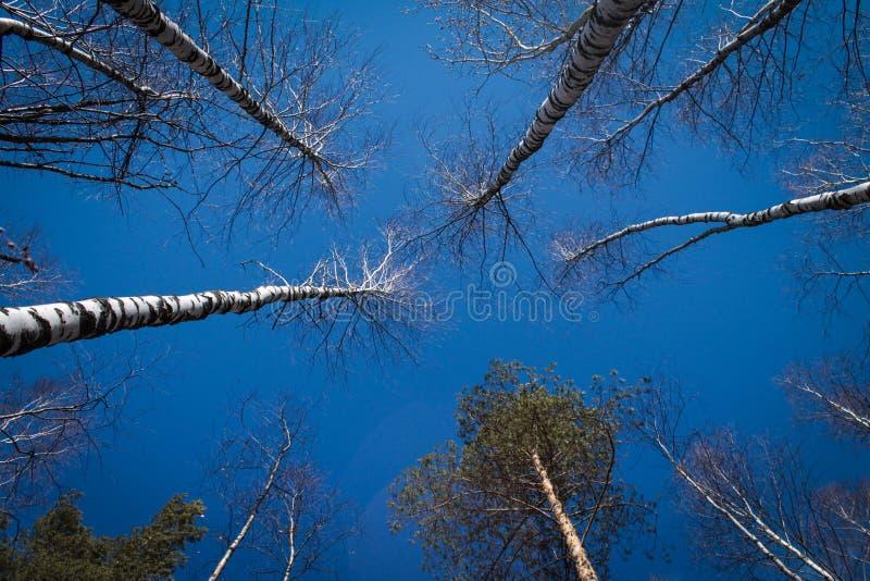 Bild av tr?d utan sidor med crystal bl? himmel utan moln royaltyfri fotografi
