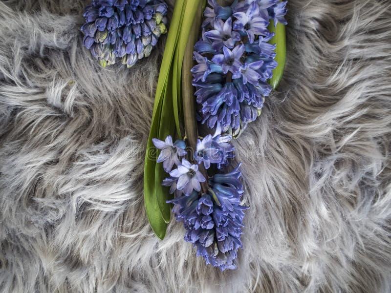 Bild av tre hyaciths för en blått på den gråa mattan royaltyfria foton