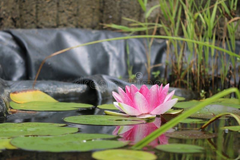 Bild av waterlily och reflexionen därav arkivfoto