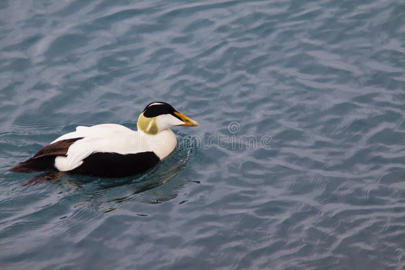 Bild der Eiderente, eine typische Meeresente von Island stockfotografie