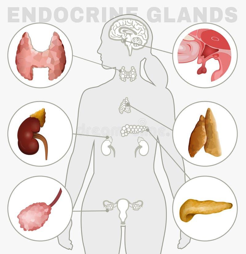 Bild der endokrinen Drüsen vektor abbildung. Illustration von hormon ...