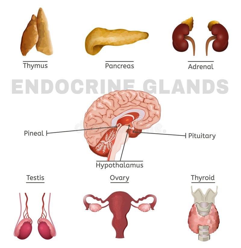 Bild der endokrinen Drüsen vektor abbildung. Illustration von gehirn ...
