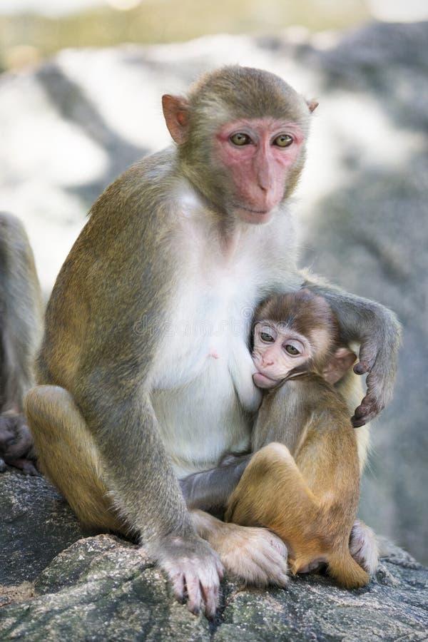 Bild der Makaken-Rhesusfaktorfamilie stockfoto