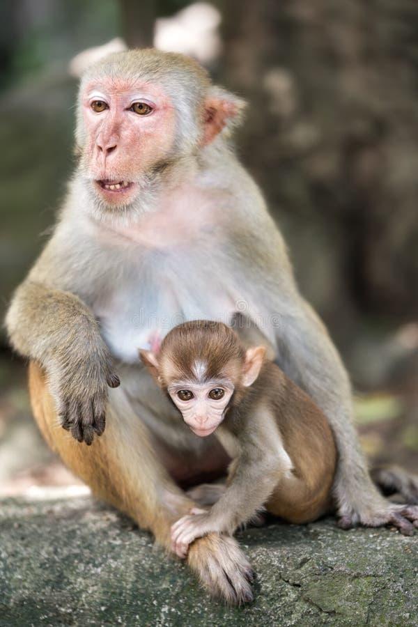 Bild der Makaken-Rhesusfaktorfamilie stockfotos