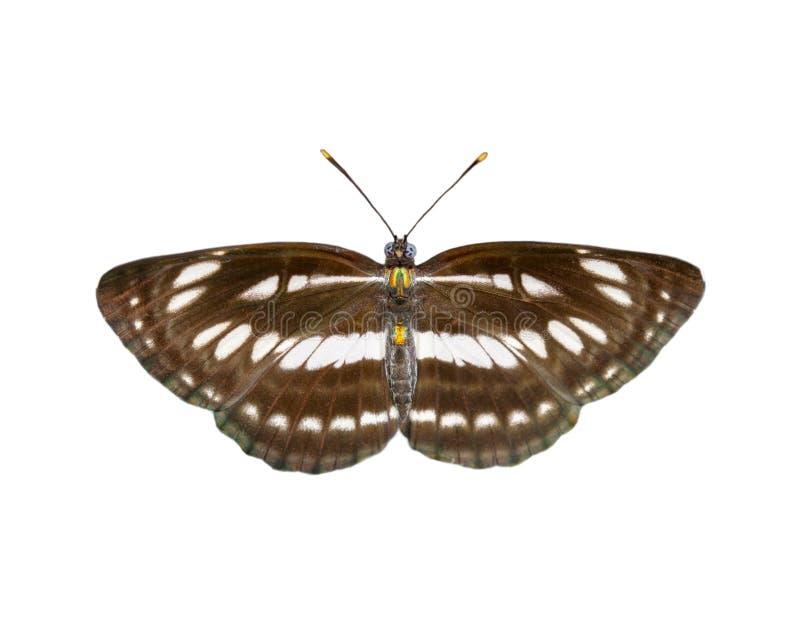 Bild des gemeinen einfachen Seemannschmetterlinges lokalisiert auf weißem Hintergrund insekt tiere stockbild
