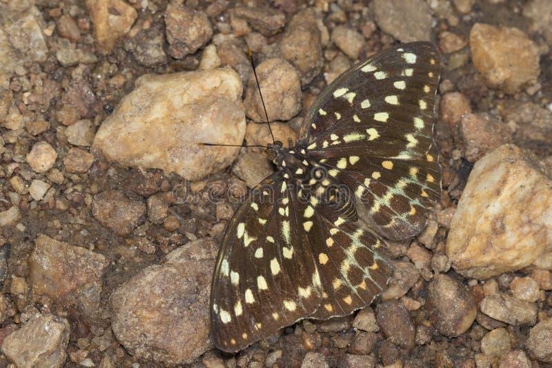 Bild des gemeinen Erzherzogs Butterflyfemale lizenzfreies stockbild