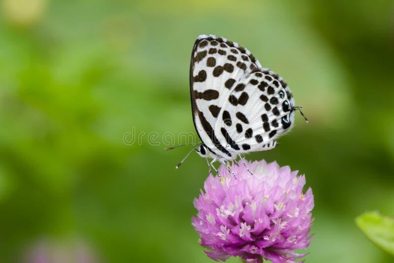 Bild des gemeinen Pierrotschmetterlinges auf purpurroten Blumen insekt stockbilder