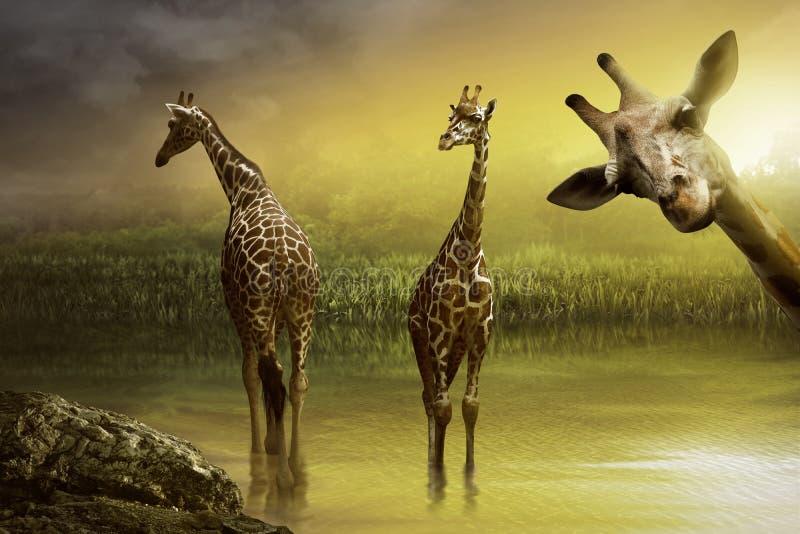 Bild des Giraffentrinkens lizenzfreie stockfotografie