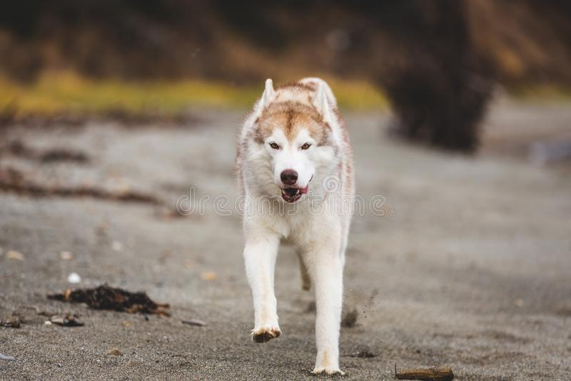Bild des glücklichen und freien Beige- und weißemdes sibirischen huskys Hundes, der auf dem Strand an der Küste im Herbst läuft lizenzfreies stockbild