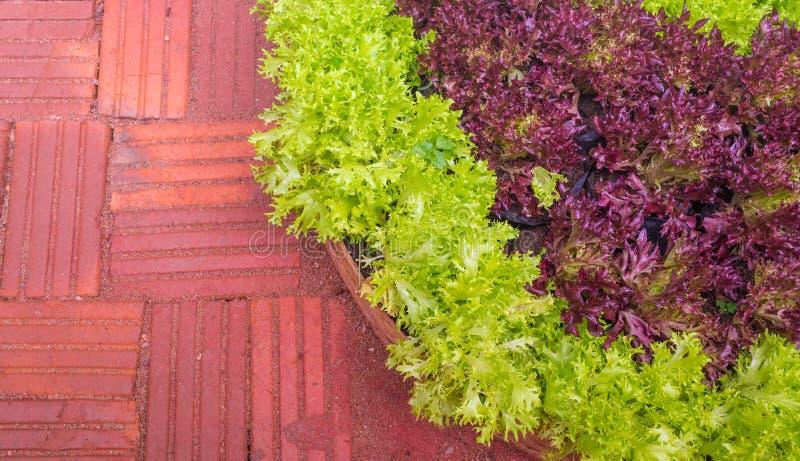 Bild des grünen Kopfsalates wachsend auf Ackerland lizenzfreie stockfotografie