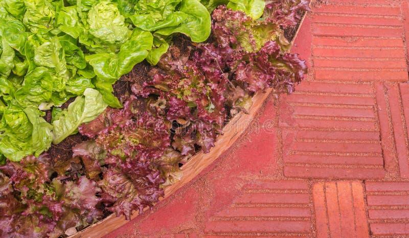 Bild des grünen Kopfsalates wachsend auf Ackerland lizenzfreie stockbilder