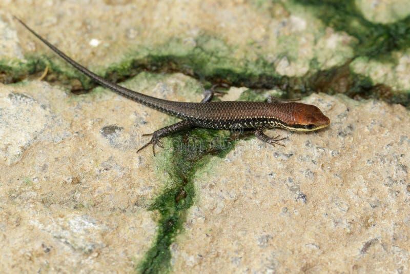 Bild eines allgemeinen Garten skink u. des x28; Scincidae& x29; auf dem Boden reptil lizenzfreies stockbild
