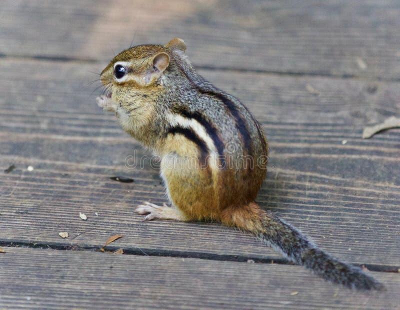 Bild eines netten lustigen Streifenhörnchens, das etwas isst lizenzfreie stockbilder