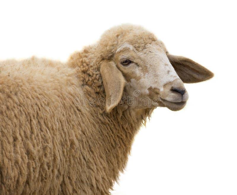 Bild eines Schafs stockfoto