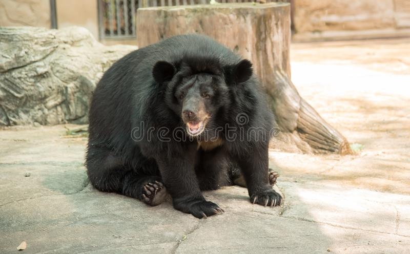 Bild eines schwarzen Bären stockfoto
