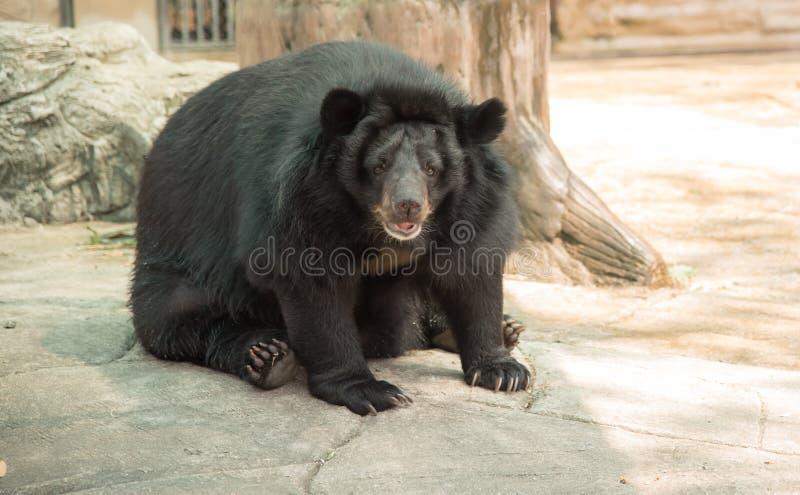 Bild eines schwarzen Bären stockfotos