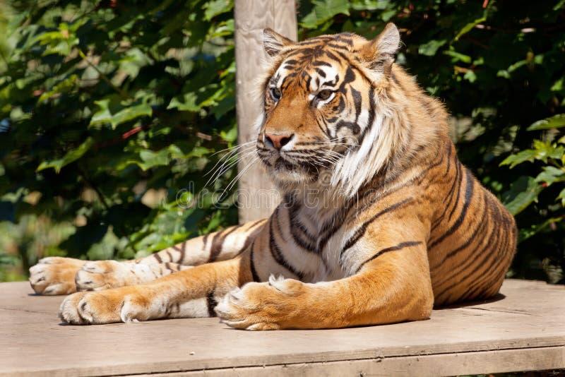 Stillstehender Tiger lizenzfreie stockfotografie