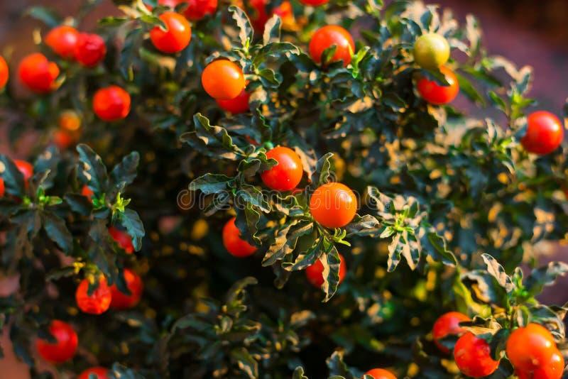 Bild för closeup för Solanumpseudocapsicumbär arkivbilder
