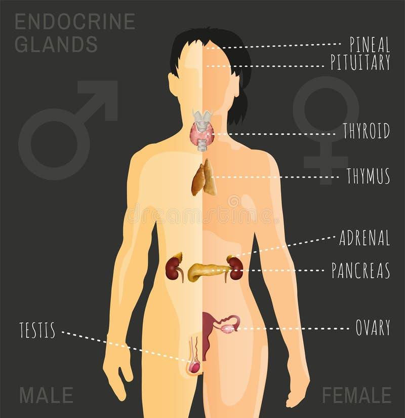 Bild för endokrin körtelsystem royaltyfri illustrationer