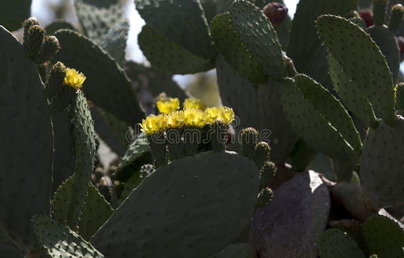 Bild för hög kontrast av gula blommor för indisk fikonträd royaltyfri foto
