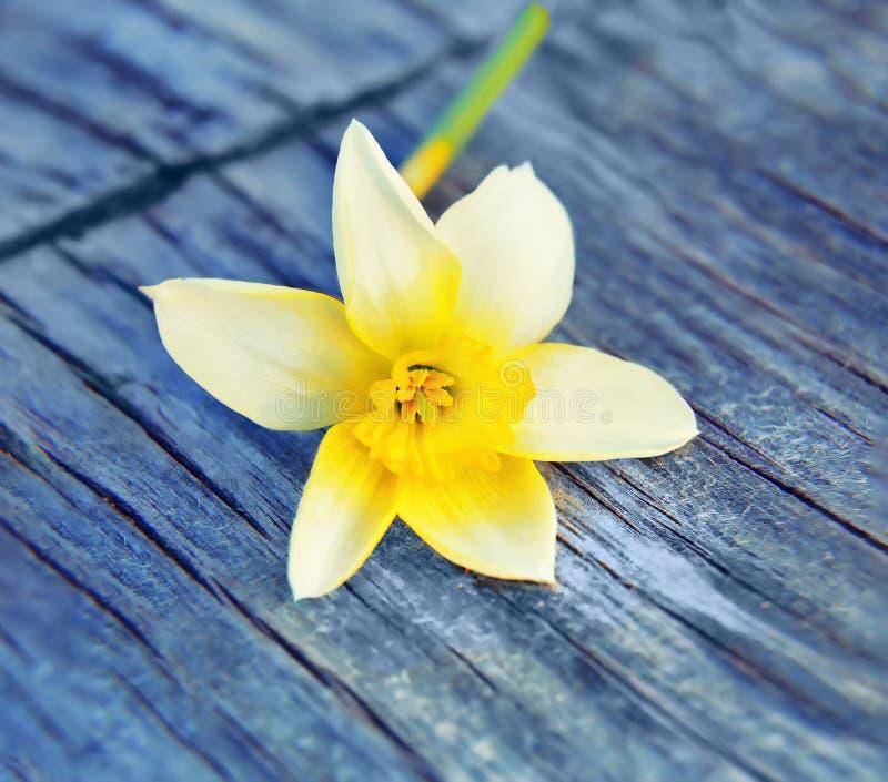 Bild-Frühlings-Blumennarzissennarzissen lizenzfreie stockfotos
