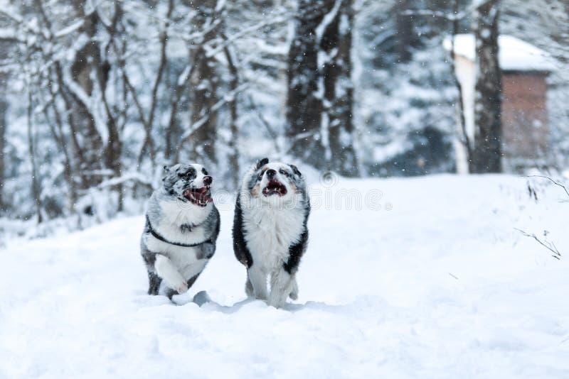 Bild laufenden australischen Schäfers zwei während des Winters lizenzfreie stockfotografie