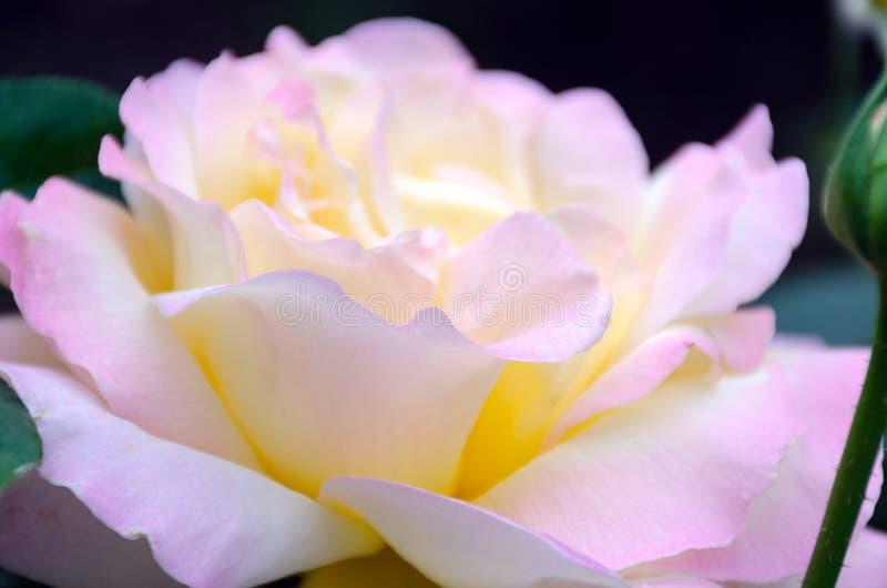 Bild med grunt djup av fokusen - den blommande rosa färgrosen, försiktiga kronblad stänger sig upp arkivbild