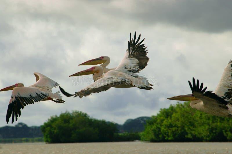 Bild von den Pelikanen gefangen genommen in Senegal stockfotografie