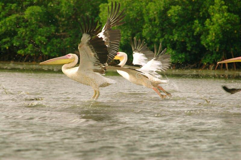 Bild von den Pelikanen gefangen genommen in Senegal stockfotos
