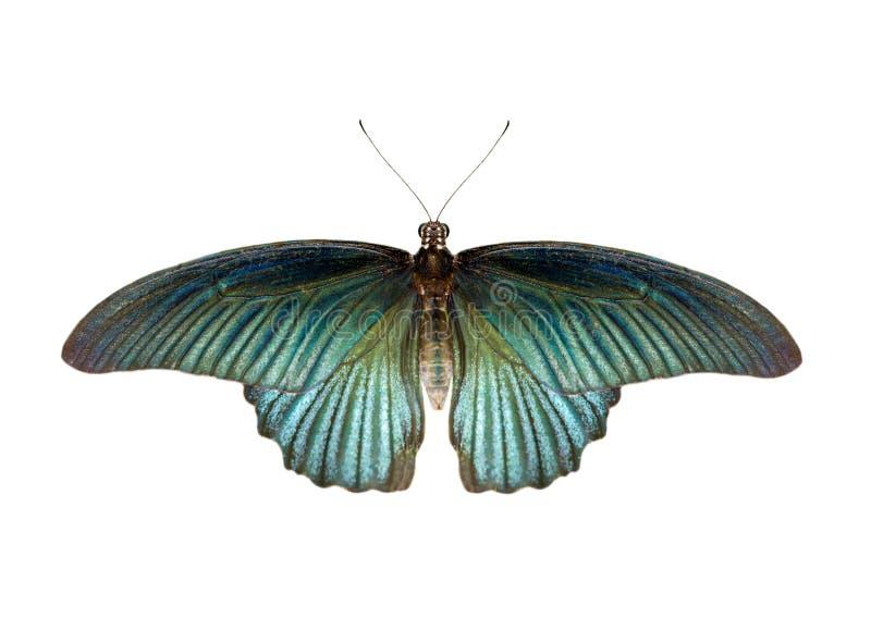 Bild von männlichen großen mormonischen Schmetterling Papilio-polytes lokalisiert auf weißem Hintergrund insekt tiere stockfotos