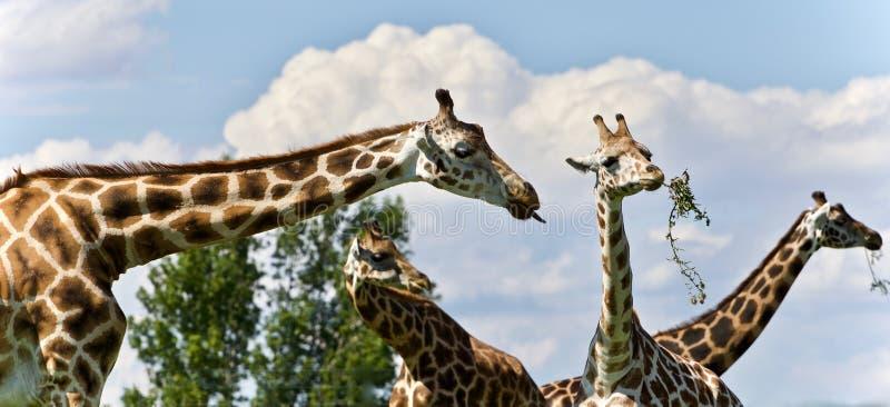 Bild von vier netten Giraffen, die Blätter essen lizenzfreie stockbilder