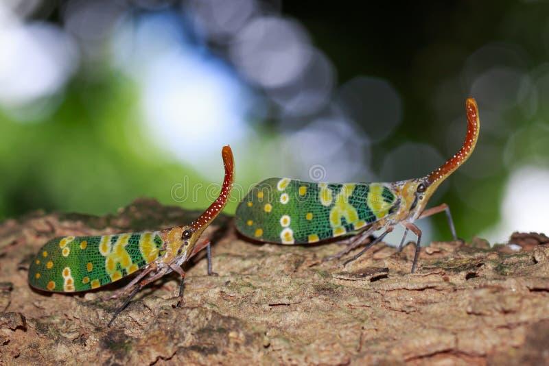 Bild von zwei fulgorid Wanze oder lanternfly von Pyrops-oculata auf Baum lizenzfreies stockfoto