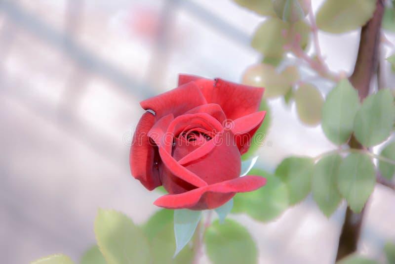 Bildbild av en härlig rosblomma med en röd knopp med daggdroppar på en suddig bakgrund av sidor och en stam arkivbilder