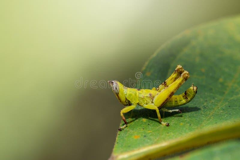 Bilden av behandla som ett barn gräshoppan för den gröna apan på gröna sidor kryp arkivbilder