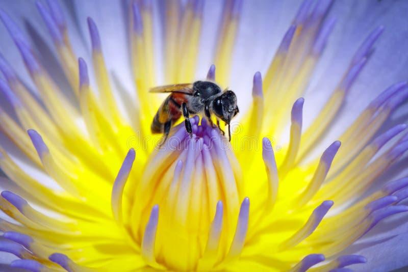 Bilden av biet eller honungsbit på lotusblommapollenet samlar nektar Honungsbi på blommapollen kryp angus royaltyfri bild