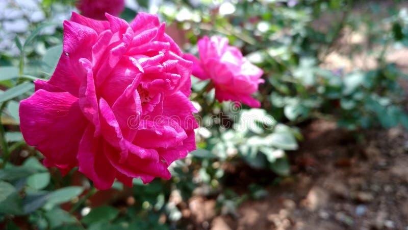 bilden av den härliga röda rosen, den röda rosen blommar royaltyfri foto