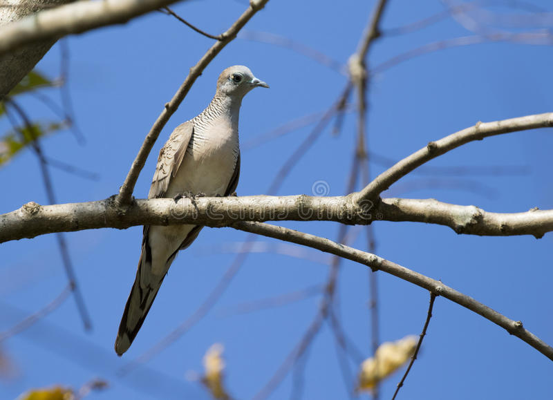 Bilden av duvafågeln sätta sig på en trädfilial royaltyfri bild