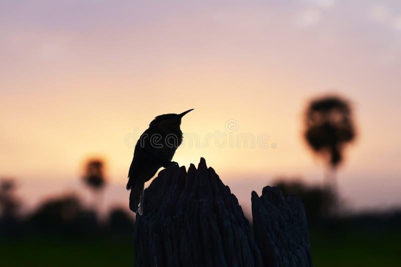 Bilden av en fågel som fångas på en trädstubbe på solnedgången fotografering för bildbyråer