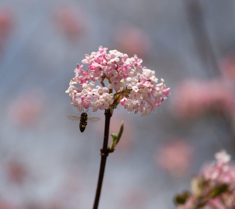 Bilden av ett honungsbiflyg till den rosa blomningen av en vinter kastar sn royaltyfri foto