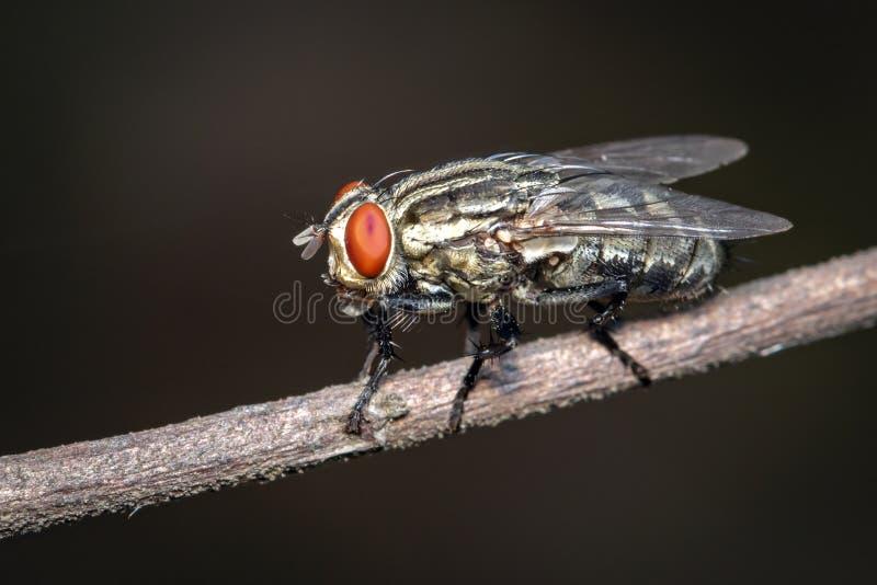 Bilden av flyger dipteraen på brun filial på en naturlig bakgrund kryp angus royaltyfria foton