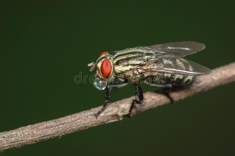 Bilden av flyger dipteraen på brun filial på en naturlig bakgrund kryp angus fotografering för bildbyråer