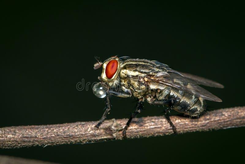 Bilden av flyger dipteraen på brun filial på en naturlig bakgrund kryp angus royaltyfria bilder