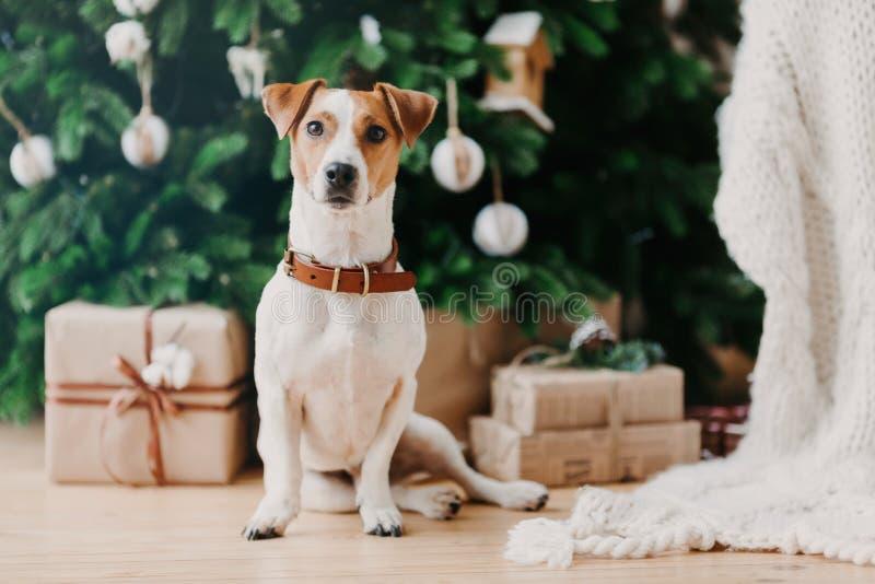 Bilden av hundens pedigree-hundar sitter på golvet i närheten av dekorerade julklappar och julklappar, har en feststämning och är arkivfoton