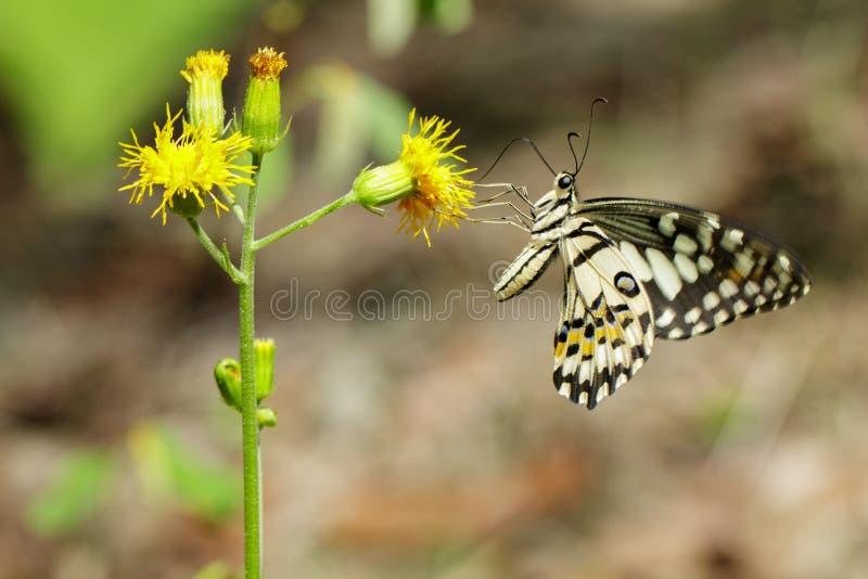 Bilden av limefruktbutterflyPapiliodemoleusen suger nektar från blommor på en naturlig bakgrund kryp anhydrous fotografering för bildbyråer