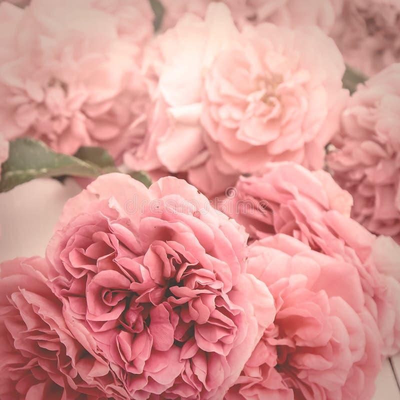 Bilden av romantiska rosa rosor, tappning stiliserade med matte effekt arkivfoton