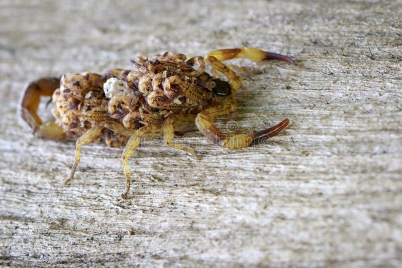 Bilden av skorpionen med behandla som ett barn på baksida kryp arkivbild