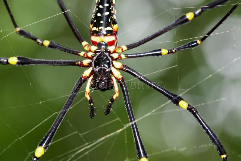 Bilden av spindeln Nephila Maculata, Gaint Lång-snackade Orb-vävaren arkivbilder