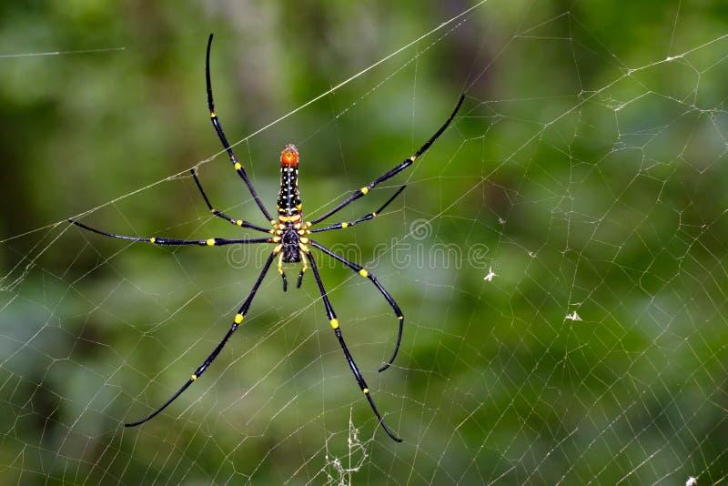 Bilden av spindeln Nephila Maculata, Gaint Lång-snackade Orb-vävaren fotografering för bildbyråer